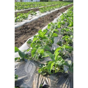 Folija malč za jagode 1,2m x 500m 50mic CRNA 30*30