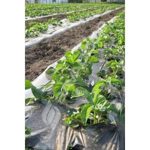 Folija malč za jagode 1,2m x 1000m 40mic CRNA 30*30
